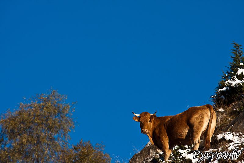 Premieres neiges, automne 2010, vache dans la neige