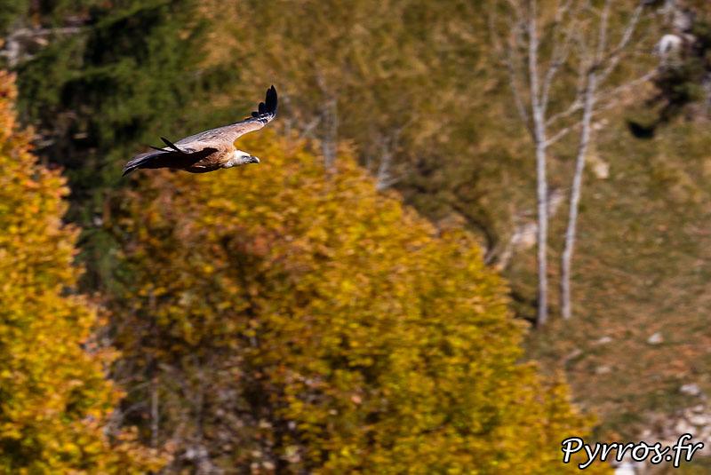 Depuis 2 jours de nombreux vautours fauves survolent Jurvielle (31), une carcasse de vache les attirent en nombre dans un petit vallon. Vautour en vol.