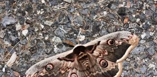 Rencontré en début de soirée ce papillon de nuit est le plus grand papillon européen