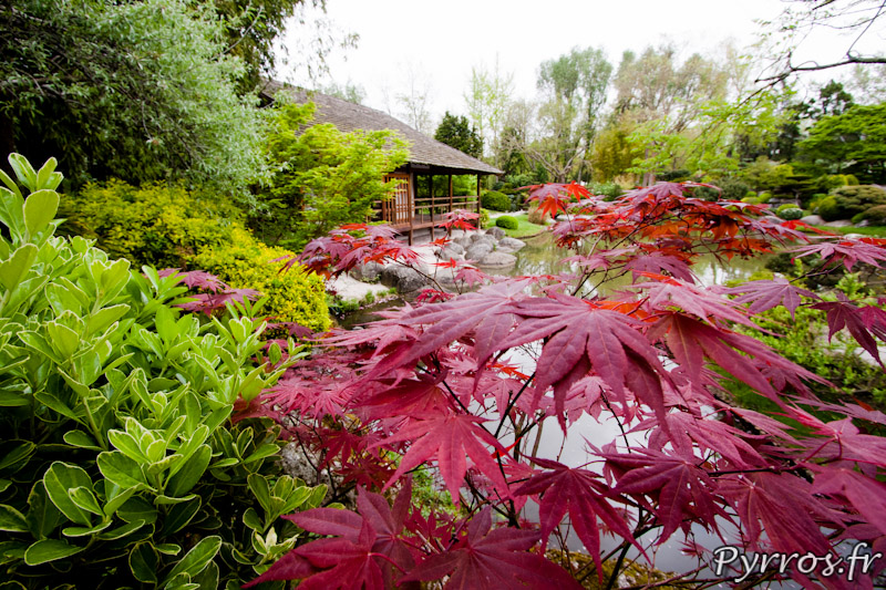 Erable du Japon, Printemps au jardin Japonais