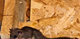 Loir gris (Glis glis) en observation