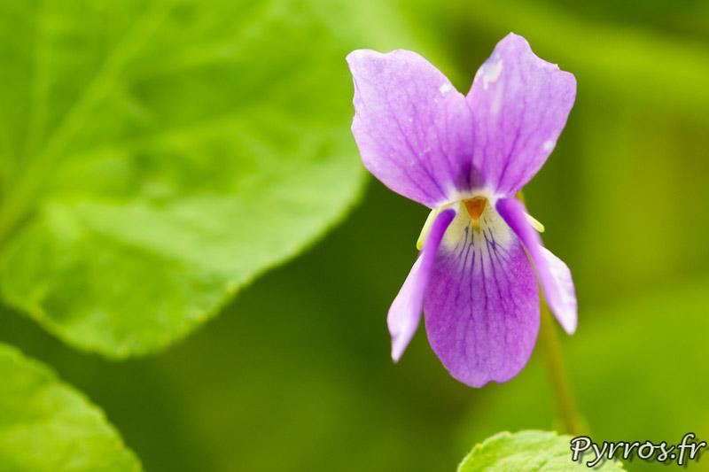 Violette Zampieri (Italie) au conservatoire national de la violette