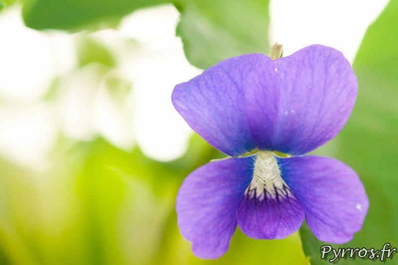 Violette Palmee (Viola Palmata) au conservatoire national de la violette