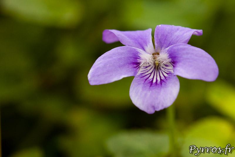 Violette admirable ou Viola Mirabilis (du Japon) au conservatoire national de la violette