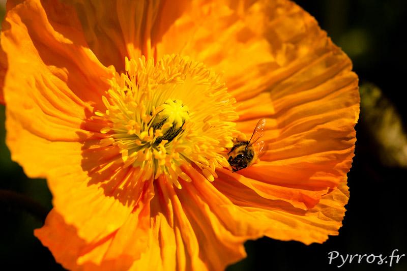 Papaver orange visité par une abeille