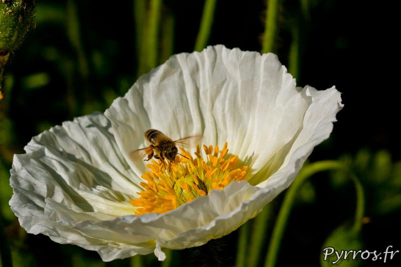 Papaver blanc butine par une abeille qui collecte le pollen sur les étamines