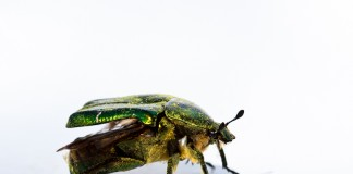 Ce scarabée vert est une Cétoine dorée dans la montagne noir, photo réalisée dans une boite à lumière