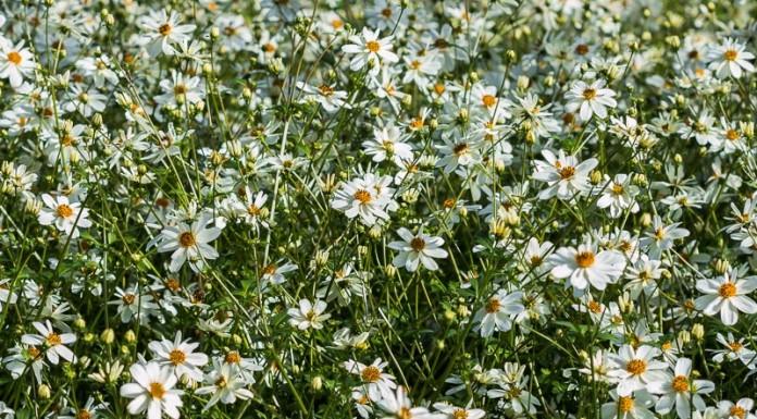 Bidens Blanc en fleur