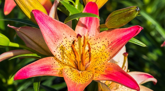 Fleur de Lilium