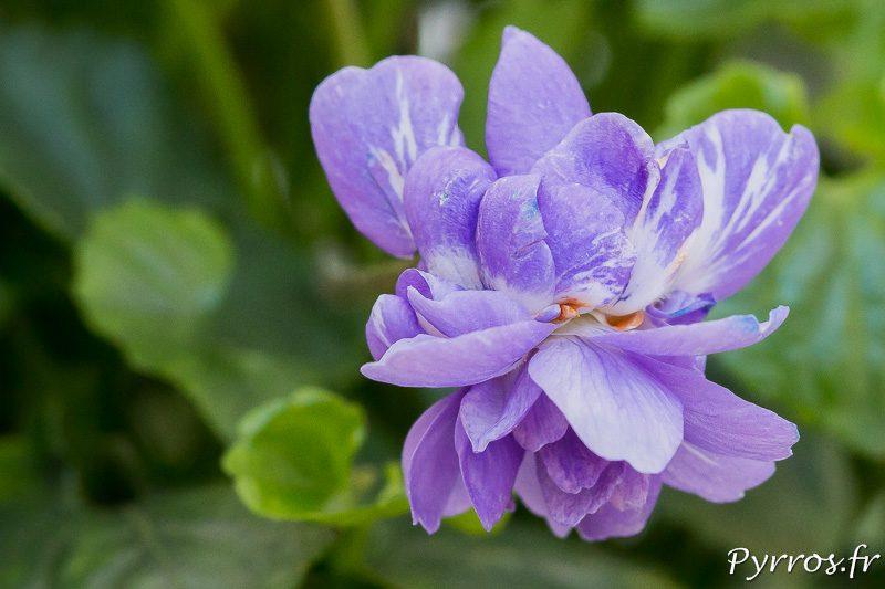 La fleur de la violette de ToulouseLa fleur de la violette de Toulouse