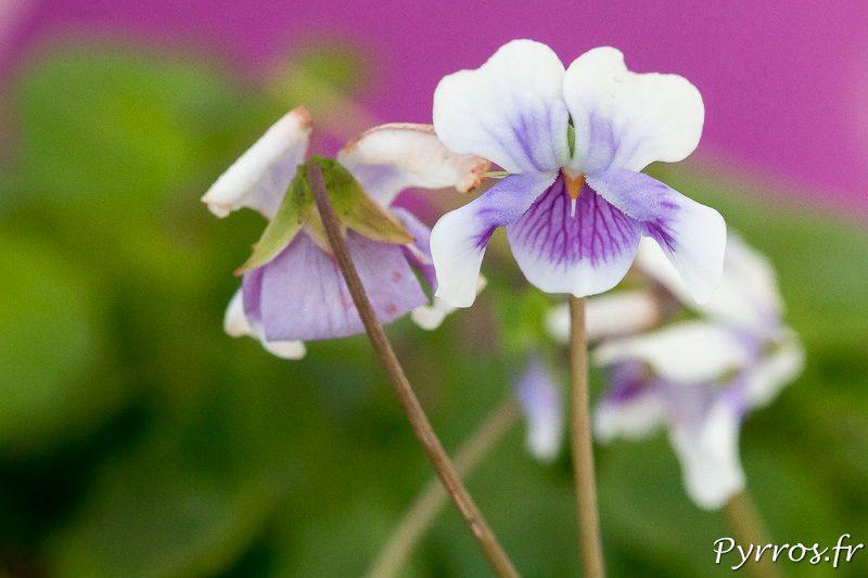 Fleurs de violette d'Australie : Viola Hederacea
