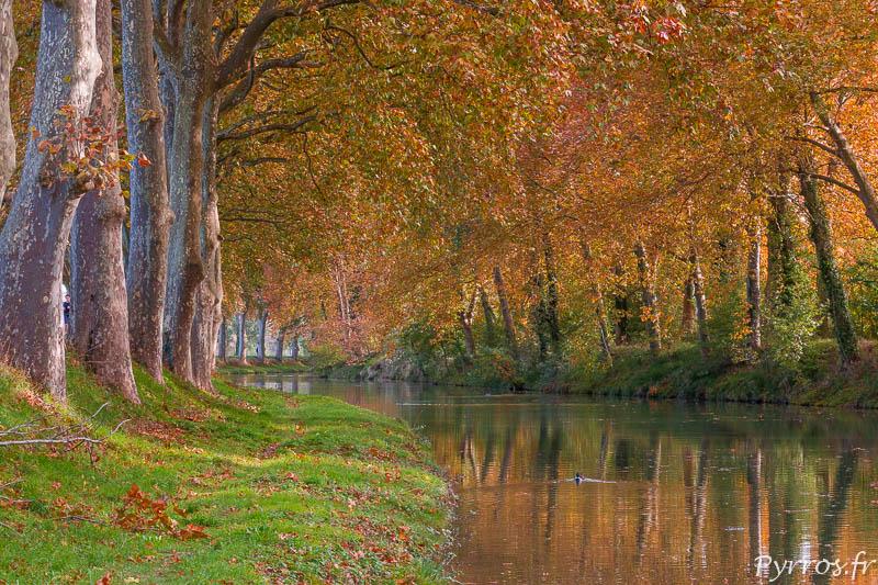 Avant de tomber les feuilles mortes des platanes jaunisses voir deviennent orange même sur le Canal du Midi